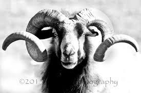 gruff iii fine art photography black and white curled horns
