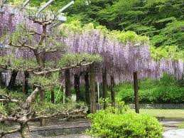 panoramio photo of wisteria trellis at rengeji ike park