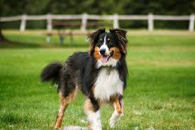 south dakota australian shepherd australian shepherd u2013 doggerel