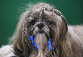 affenpinscher ottawa dog gone cute hairy highlights of the crufts dog show