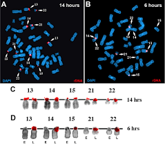 asynchronous replication mono allelic expression and long range