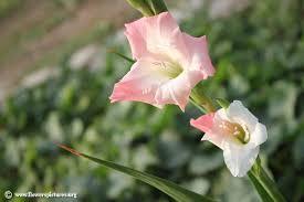 gladiolus flowers gladiolus flower pictures gladiolus pictures