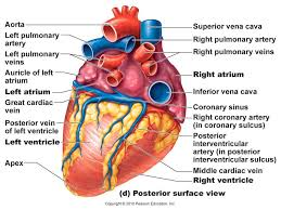 heart diagram anatomy system human body anatomy diagram and