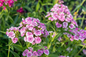 Sweet William Flowers Sweet William Flower Stock Photos U0026 Pictures Royalty Free Sweet