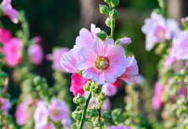 hollyhock flowers how to grow hollyhocks planet