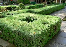Garden Hedges Types Aggregata Plants U0026 Gardens How To Create And Maintain A Lavender