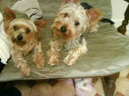 silky terrier with haircut yorkshire terrier haircut before and after youtube