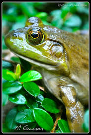 203 best frogs and toads images on pinterest amphibians