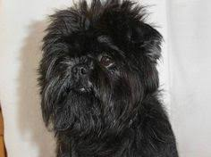 affenpinscher pics affenpinscher dog breed information dog breeds dog and terrier