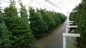 christmas trees glacier gardens nursery