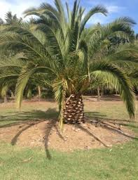 palm tree sales in pearcedale melbourne vic gardeners truelocal