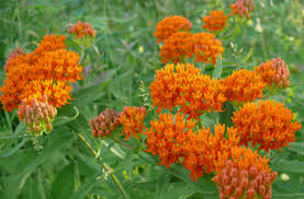 native plants list native butterfly and pollinator plant list prairie haven