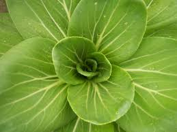 When Should I Start Planting My Vegetable Garden by Proper Bok Choy Care Growing Bok Choy