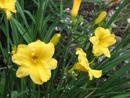 stella daylily daylily plants how to grow and care for daylilies hemerocallis