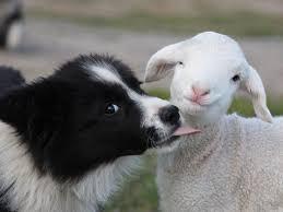 australian shepherd x border collie puppies best 25 border collie ideas on pinterest border collie puppies