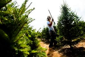 unusual jobs carver farms christmas tree trimmers the spokesman