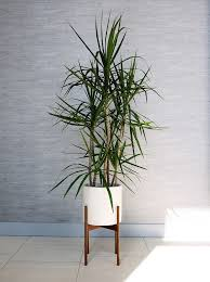 indoor trees low light appealing the best indoor trees and big plants to grow in your