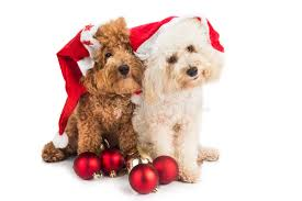 two poodle puppies in santa costume with ornament