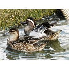ornamental ducks