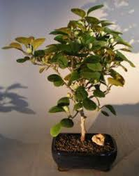 flowering fruiting trees the world of real bonsai by