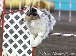 australian shepherd jumping glen ey australian shepherds