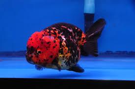 calico ranchu dandyorandas goldfish goldfish