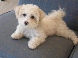 haircutsfordogs poodlemix adult maltese poodle mix adult maltipoo haircut http