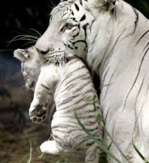 white bengal tiger enigma solved the hindu