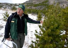 Fraser Christmas Tree Permit by Tips For Hunting Down That Perfect Christmas Tree Local
