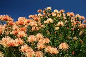 Kirstenbosch National Botanical Gardens by File Ribbon Pincushion Leucospermum Tottum At Kirstenbosch