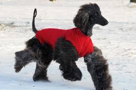 afghan hound and labrador retriever wet afghan hound dog picture