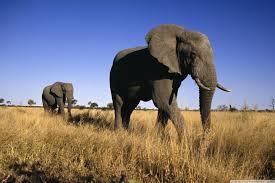 apple wallpaper elephant african elephants 4k hd desktop wallpaper for 4k ultra hd tv