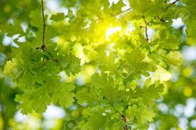 sunlight in fresh oak tree leaves in summer stock photo picture