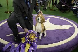 affenpinscher westminster 2015 photos westminster dog show winners