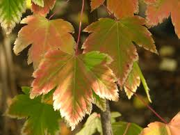 new mexico native plants douglas maple acer glabrum pacific northwest native tree