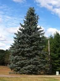 colorado spruce trees posts related to colorado blue
