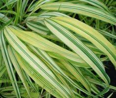 sedges are a type of ornamental grass that grow well in moist soil