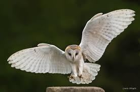 North American Barn Owl Journal Of Raptor Research U2013 Raptor Research Foundation