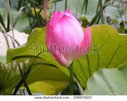Lotus Flower Bloom - nature flower background lotus flower beautiful stock photo
