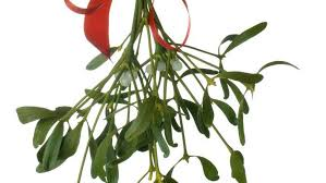 christmas mistletoe mistletoe interesting trivia and christmas facts