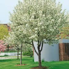malus john downie crab apple tree trees for garden pinterest