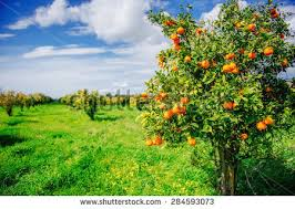 orange trees plantations stock photo 284593073