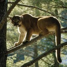 Washington wild animals images Cougar legal status management western wildlife outreach jpg