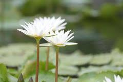 Lotus Flower Bloom - white lotus flower bloom in pond water lily in the public park