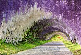 the great wisteria flower arch kawachi fuji garden kitakyūshū