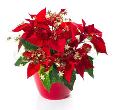 Christmas Flowers Red Poinsettia Christmas Flower With Golden Decoration Stock