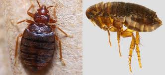 Bean Leaves Bed Bugs Bed Bugs Vs Fleas Difference And Comparison Diffen