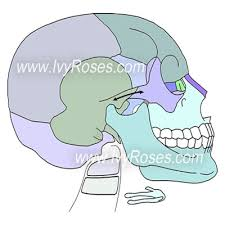 Floor Of The Cranium Cranial And Bones Skeletal System