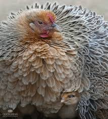 types of backyard chickens this is a beautiful chicken what kind is it it looks like a