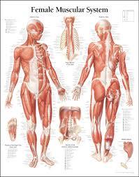 Human Anatomy Skeleton Diagram Human Anatomy Chart Page 39 Of 202 Pictures Of Human Anatomy Body